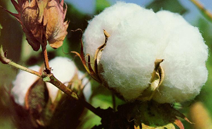 UBL Cotton Ginning Loan